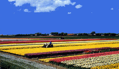 tulipani distesa