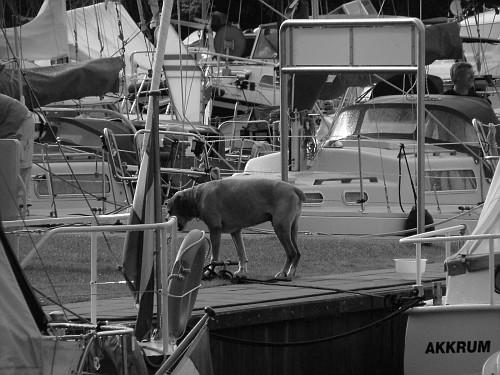 Olanda viaggio in barca. Cane